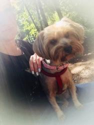 Разыскивается собака породы «Йорк» (девочка), которая потерялась в районе с. Петрово-Дальнее.